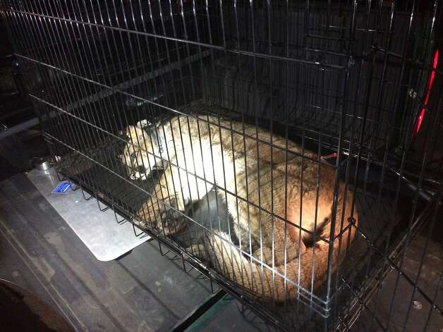 The mountain Lion in a cage after he was captured in May. Photo: Handout, Courtesy Santacruzpuma.org