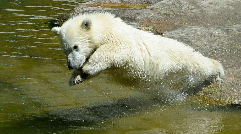 Shallow water white-out: In a proper surface dive, the outstretched paws are positioned together in front of the head, as demonstrated here at the Hellabrunn Zoo in Munich. Photo: Rebecca Krizak, Associated Press