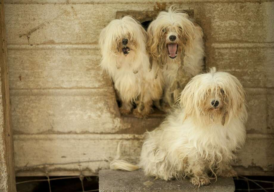 Mistreated pups: These dogs are among the canines rescued by sheriff's deputies and the Humane Society at a puppy mill at an undisclosed location in Rutherford County, N.C. The raid was the 20th puppy mill bust in the state in the last three years. Photo: Jason E. Miczek, Associated Press