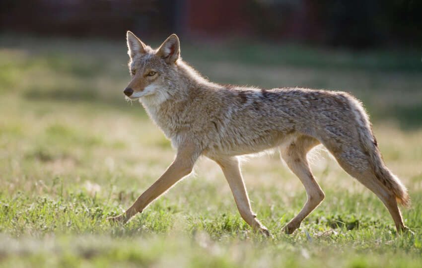 Animal control offers some tips for living with coyotes...