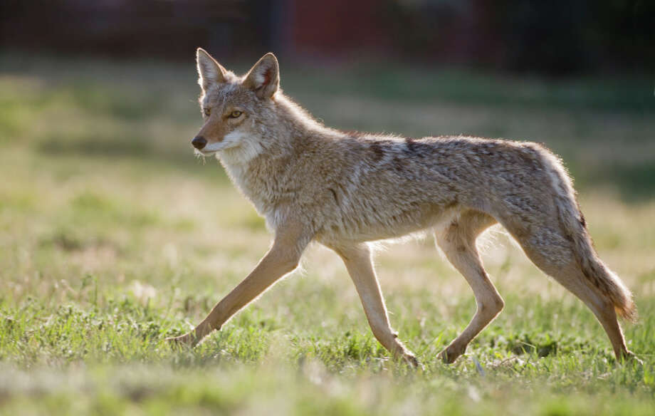 Animal control offers some tips for living with coyotes... Photo: Russell Burden, Getty Images / (c) Russell Burden