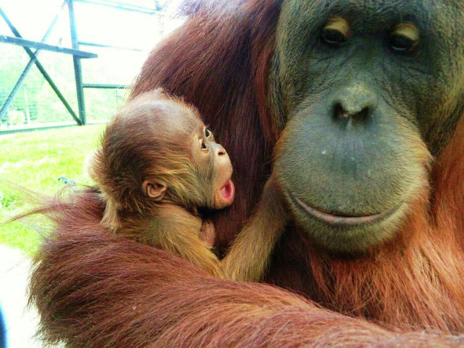 A four-pound healthy baby boy orangutan, born May 20 in backcountry Greenwich at LEO Zoological Conservation Center, is embraced by his mother, Maggie.  The baby was the first ever orangutan born via assisted reproduction. Photo: Contributed Photo / Greenwich Time Contributed