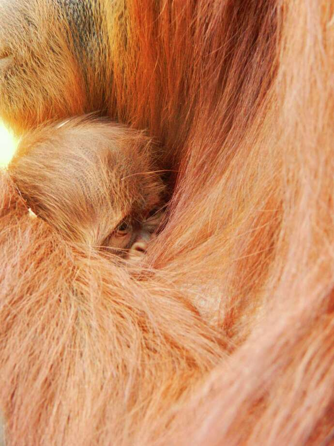 Maggie the orangutan holds her newborn son. Photo: Contributed Photo / Greenwich Time Contributed