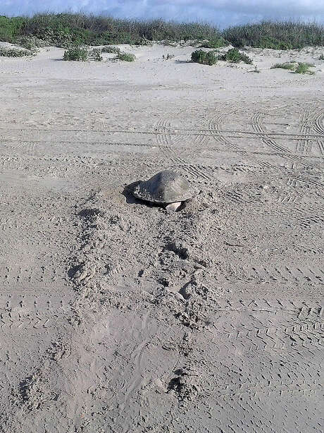 A Kemp's ridley turtle  rawls onto a beach parking area on Galveston Island to lay eggs. Photo: Photo Courtesy Of Sea Turtle Res / Photo courtesy of Sea Turtle Res