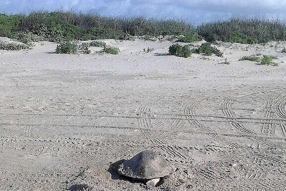 A Kemp's ridley turtle  rawls onto a beach parking area on Galveston Island to lay eggs.