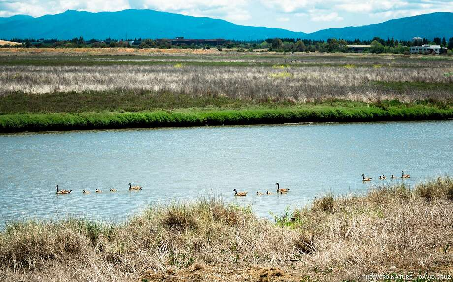 Three families of Canada geese, with mom and pop at head and tail of each parade, swim in slough last week at Palo Alto Baylands Photo: David Cruz