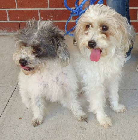 Biscuit and Muffin, a Mother / Daughter miniature poodle duo.  Biscuit (Mother) is 2 years old and Muffin (Daughter) is 1 year old. They must be adopted together. Citizens for Animal Protection will not split them up.