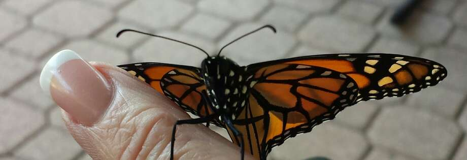 David the monarch trests on Pasadena gardener Bonnie Perry's finger. Bonnie Perry photo