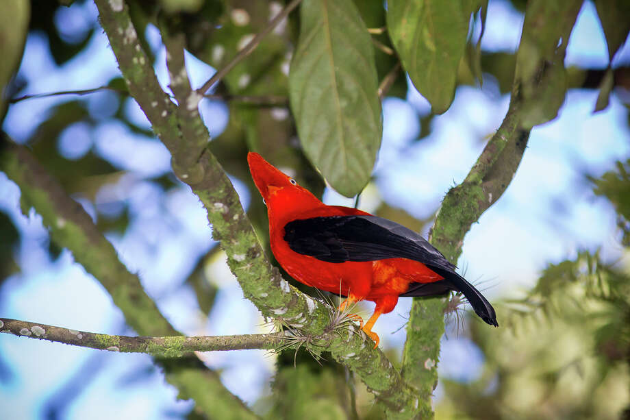 The Andean cock-of-the-rock, found along the slopes of the Andes Mountains, seems to exude the long-lost glory of the Incan empire. Photo: Kathy Adams Clark / Kathy Adams Clark/KAC Productions
