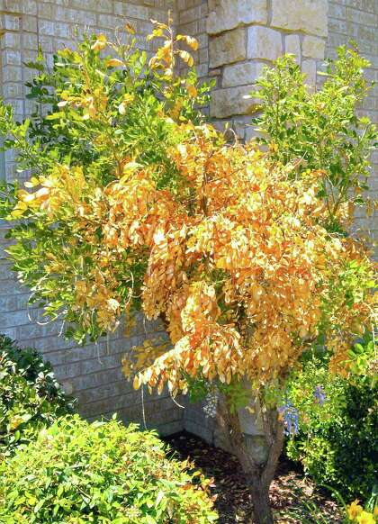 Pruning Time For Texas Mountain Laurel Expressnews Com
