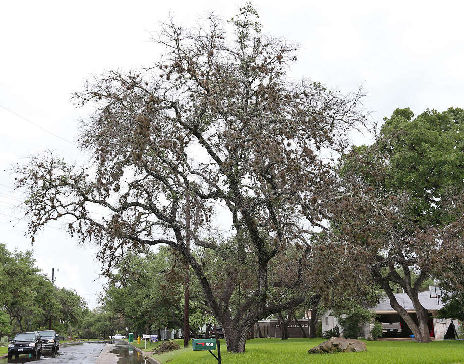 Oak Wilt Descends On Neighborhoods San Antonio Express News
