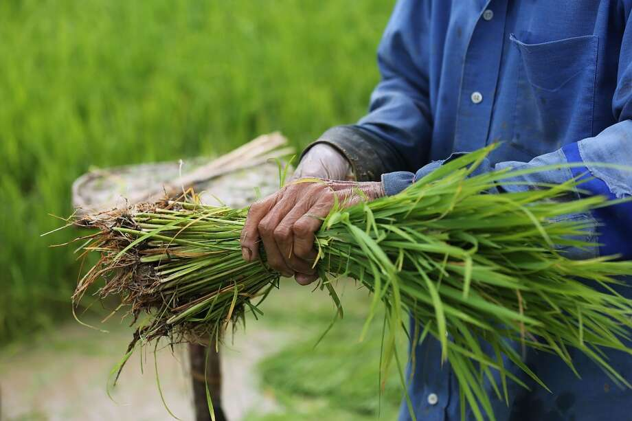Thailand:  A Thai farmer harvests rice on a farm on June 10, 2014 in Ban San Ka Wan, Thailand. Since taking power in a coup, the ruling National Council for Peace and Order has been repaying farmers money owed from a government-run rice pledging scheme, creating an economic boost for many rural communities. Photo: Taylor Weidman, Getty Images