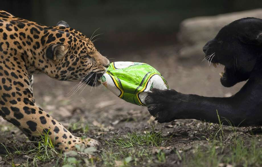 Better get the hand pump out again: When the jaguars play football at the Santa Fe Zoo in Medellin, Colombia, the game usually ends before halftime. Photo: Raul Arboleda, AFP/Getty Images