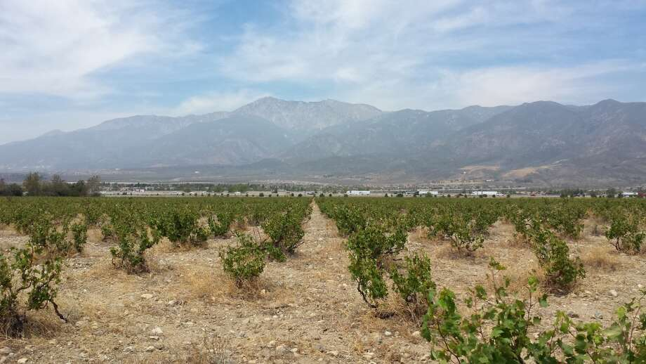 Vines in the historic Lopez Ranch vineyard, planted around 1918, near Rancho Cucamonga, Calif., with the San Gabriel mountains in the background. Photo: Jon Bonne, The Chronicle
