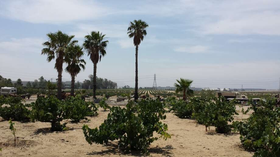 Vines, approximately 80 years old, along with palm trees and farm equipment, at the 70-acre home ranch of the Galleano Winery in Mira Loma, Calif. Photo: Jon Bonne, The Chronicle