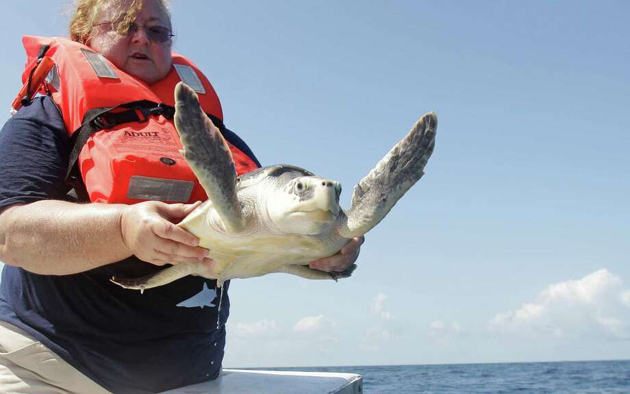 Dr. Kimberly Reich, director of the Sea Life Facility at Texas A&M University at Galveston, releases one of four rescued Kemp's ridley sea turtles about 24 miles off shore from Galveston Wednesday, May 30, 2012. One of the sea turtles named Milagro was the first sea turtle to be admitted into the Turtle Recovery Program at the Sea Life Facility at Texas A&M Galveston and the first to be released. He had a long list of problems; his carapace was cracked, his lungs were damaged, his front right flipper was gone, a chunk was missing from the edge of his shell and he had pneumonia.   ( Melissa Phillip / Houston Chronicle ) Photo: Melissa Phillip, Staff / © 2012 Houston Chronicle