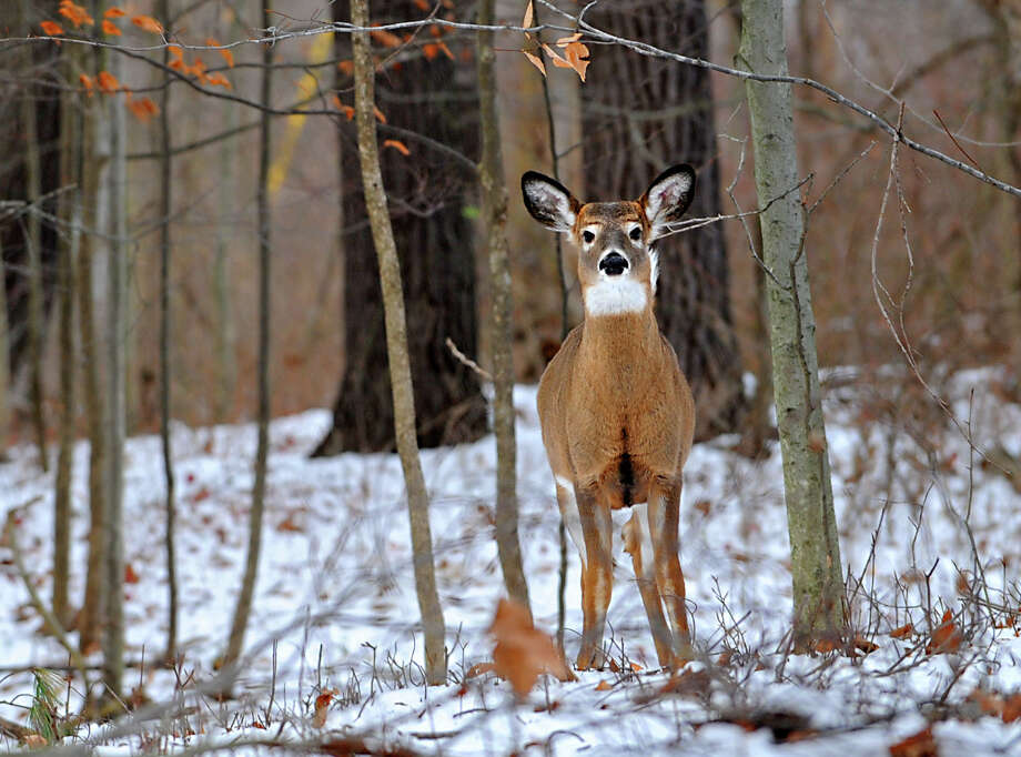 A deer looks for food in the freshly fallen snow Dec. 7, 2010, in Bethlehem, N.Y. (Lori Van Buren / Times Union archive) Photo: Lori Van Buren