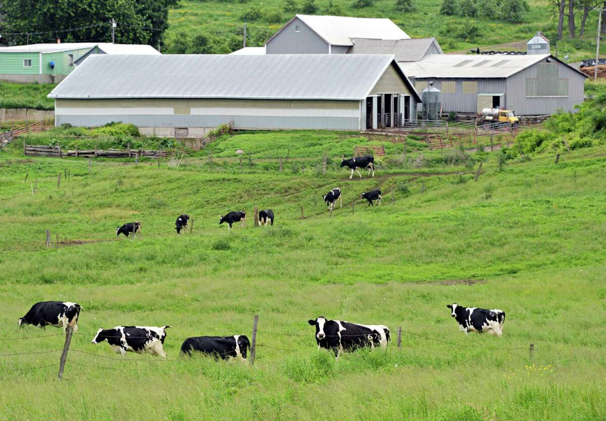 Dairy cows graze at the O.A. Borden & Sons farm Thursday June 12, 2014, in Schaghticoke, NY.(John Carl D'Annibale / Times Union)