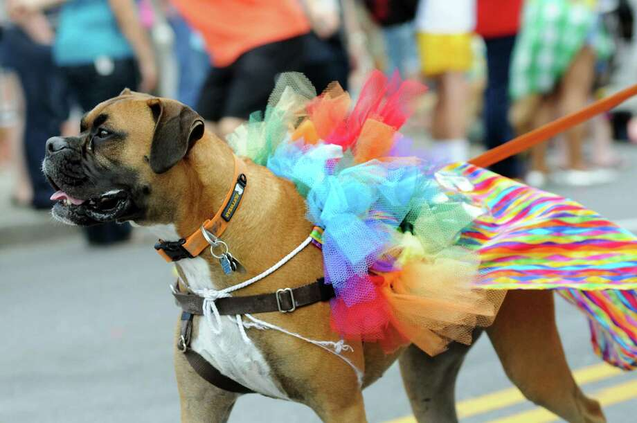 A boxer in a colorful costume is part of the Capital Pride Parade on Saturday, June 14, 2014, in Albany, N.Y. (Cindy Schultz / Times Union) Photo: Cindy Schultz / 00027244A
