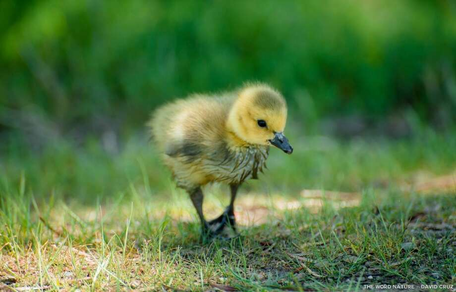 From fluff ball (newborn gosling, Canada goose) to full size in 10 weeks Photo: David Cruz, Natures Lantern