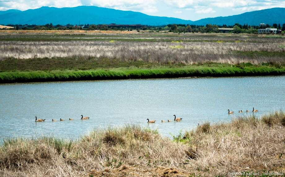 Canada geese families sail the slough at Palo Alto Baylands Photo: David Cruz, Natures Lantern