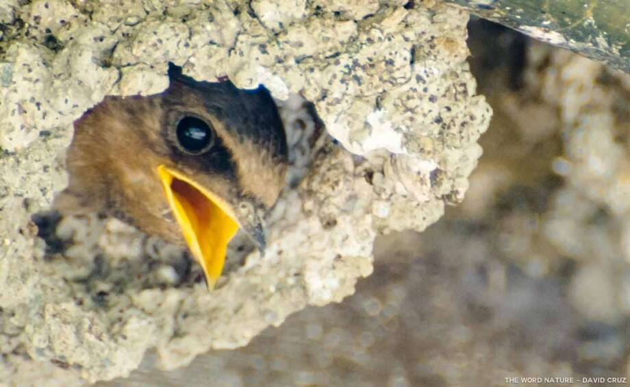 """I'm hungry,"" swallow chick in cliff Photo: David Cruz, Natures Lantern"