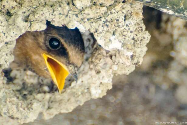 """I'm hungry,"" swallow chick in cliff"