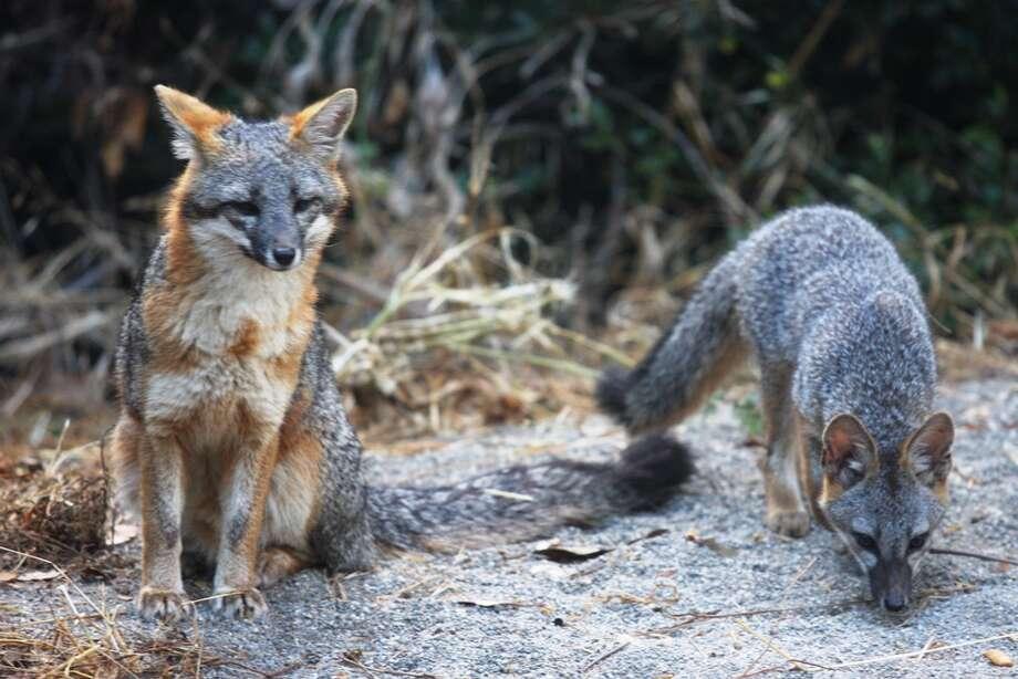 """Fox and pup at Palo Alto Baylands, """"Maybe fearless,"""" said Bill Leikam Photo: Bill Leikam"""