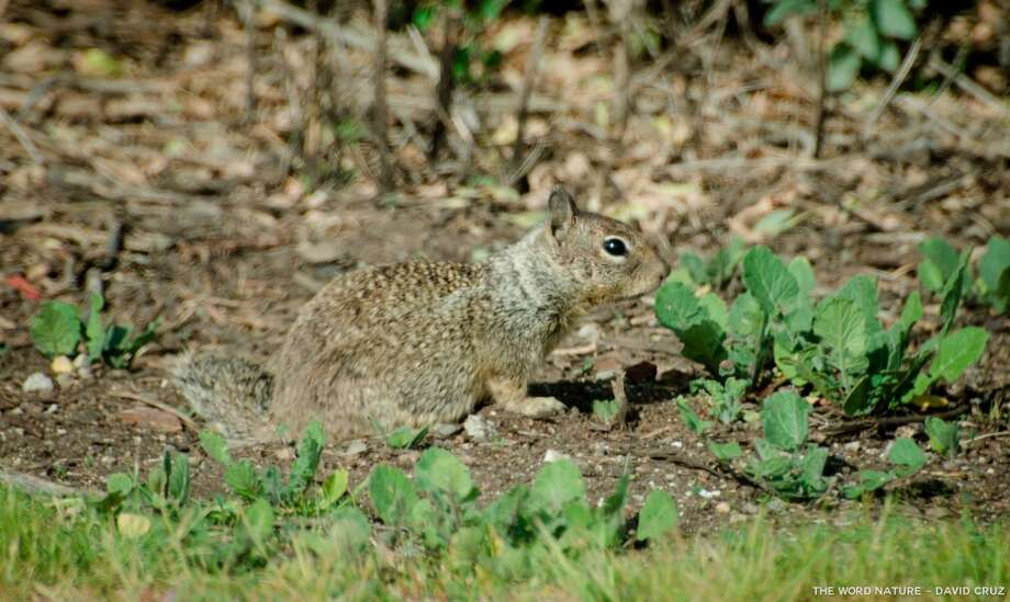 Young ground squirrel, prey for harriers, owls, fox and other predators Photo: David Cruz, Natures Lantern