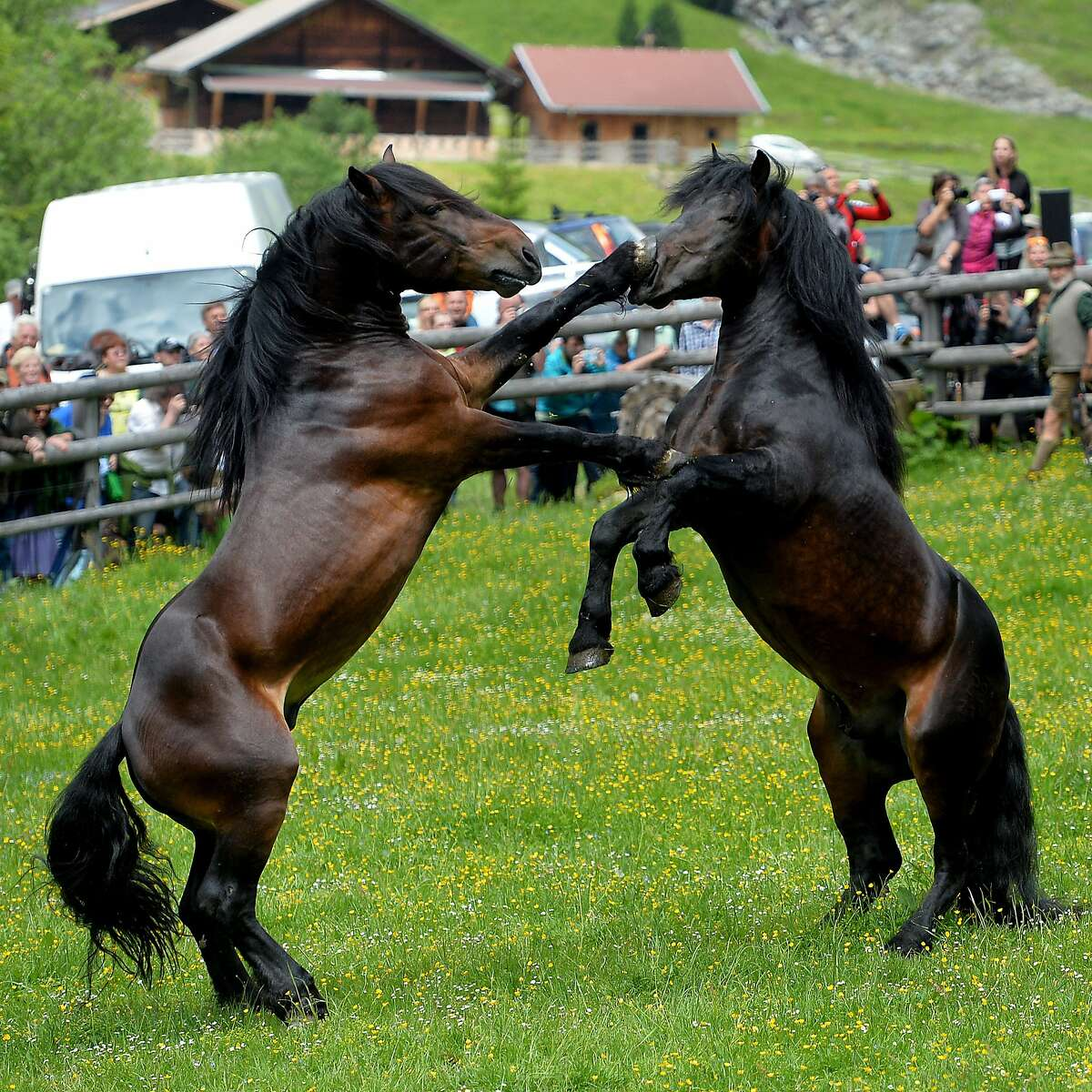 Weren't expecting the left jab, were you? Stallions fight for herd position in a paddock in Aschau, Austria's Tyrol province. After the battle, the stallions will spend the whole summer at an alp.