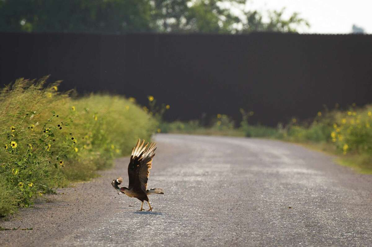 A crested caracara pecks a troublesome Northern Mockingbird in front of the U.S-Mexico border fence that crosses through The Nature Conservancy's preserved land near Brownsville.