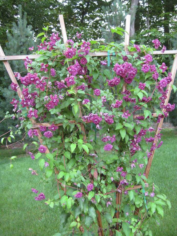 Clematis vine in full June bloom. Photo: Contributed Photo / Connecticut Post Contributed