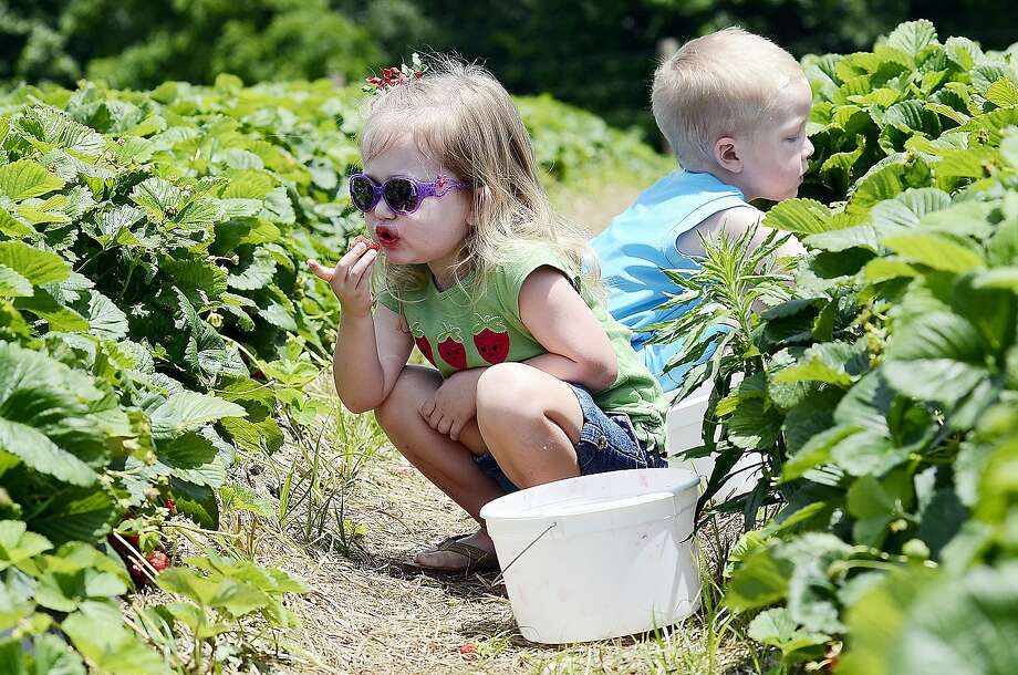 Quality control inspector:Ivah Litwin samples the strawberries that she and her cousin, Hudson Hege, picked on Ingram's Strawberry Farm in Archdale, N.C. Photo: Laura Greene, Associated Press