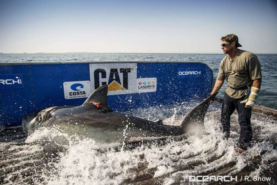 Katherine the great white shark was tagged off Cape Cod in August last year.  Since then she has slowly made her way to the Gulf and is now heading for the Texas coast. Photo: Ocearch.org