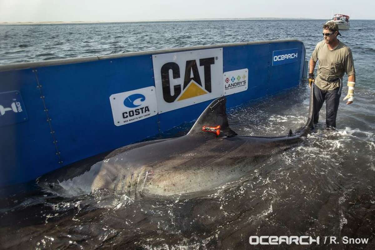 Katherine the great white shark was tagged off Cape Cod in August last year. Since then she has slowly made her way to the Gulf and is now heading for the Texas coast.