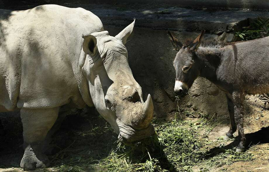 His buddy, the burro: Manuela the rhino was looking depressed, so the Tbilisi Zoo in Georgia decided to put a donkey in his enclosure to cheer him up. It worked: The pair have become best friends. Photo: Shakh Aivazov, Associated Press