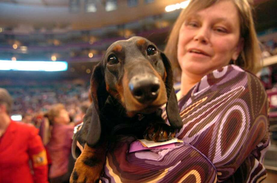 Handler Jeani McKenney, from Putman, CT,  holds Joey,  a Smooth Haired Dachshund belonging to Jim and Gail Andreyka, of Monroe, CT, at the Westminster Kennel Club dog show, at Madison Square Garden, NY, on Monday, February 15, 2010. Photo: Helen Neafsey / Greenwich Time