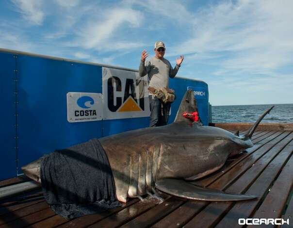 Betsy was tagged just one day earlier and is more elusive coming to the surface just a few times since then.  She was last tracked on June 5th about 120 miles off Sanibel Island Fl. Photo: Ocearch.org