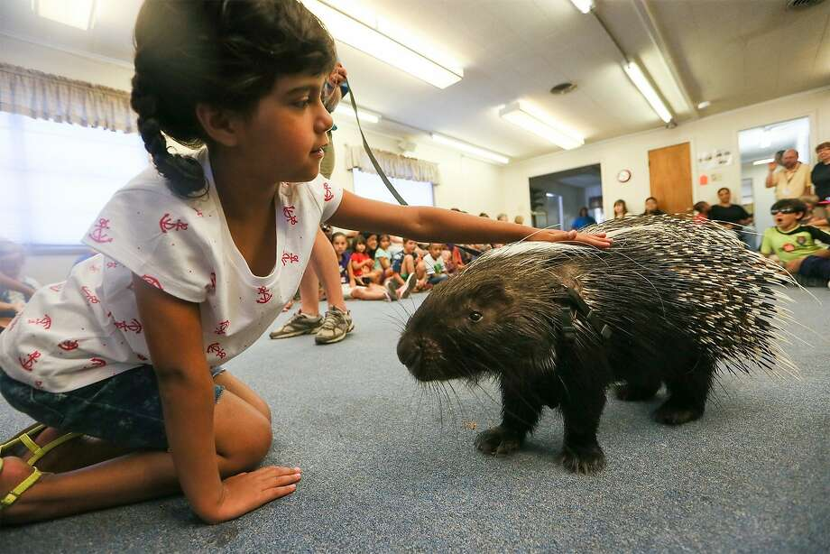 By the pricking of my thumbs, something pin-cushiony this way comes:Janet Terry, 5, pets a   porcupine during a Universal City Public Library summer program event in San Antonio. Photo: Marvin Pfeiffer, Marvin Pfeiffer / Northeast Hera