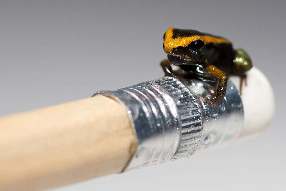 Rrrubbb out. Rrrubbb out:A baby Poison Dart frog sits on a pencil eraser at the London Aquarium. It's the first of the endangered species to be born there. Photo: Andrew Cowie, AFP/Getty Images