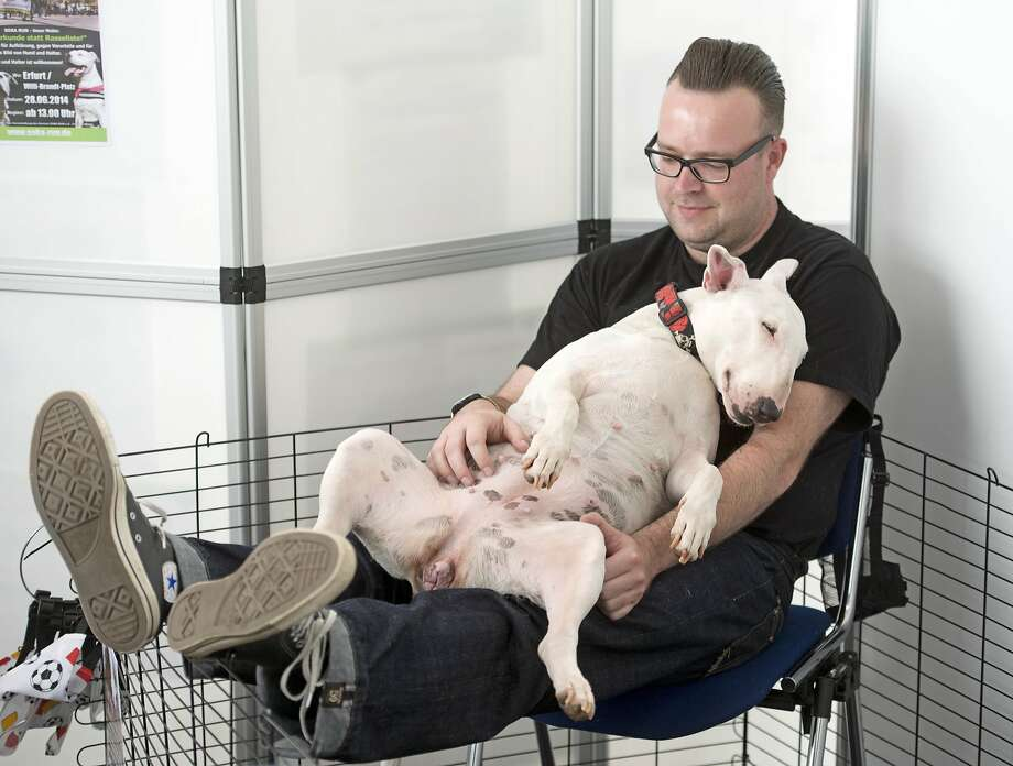 Comfortable?Aimie, a British bull terrier owned by Steve Wunderlich, attempts to qualify as a lapdog during an international pedigree dog and purebred cat exhibition in Erfurt Germany. Photo: Jens Meyer, Associated Press