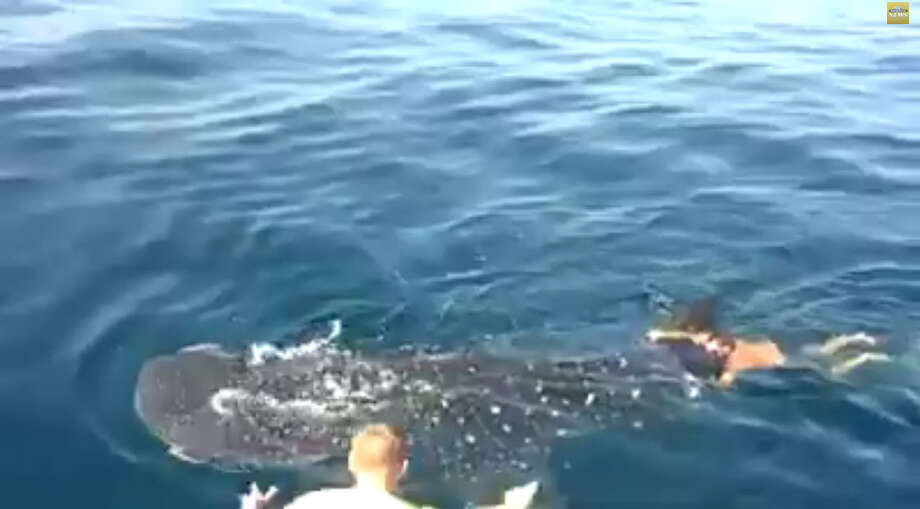 This Florida charter captain caught the ride of his life on the back of a Whale Shark.  Experts have said despite the giant fish's protected status Jamie Robert Bostwick did not break any laws. Photo: Jamie Robert Bostwick