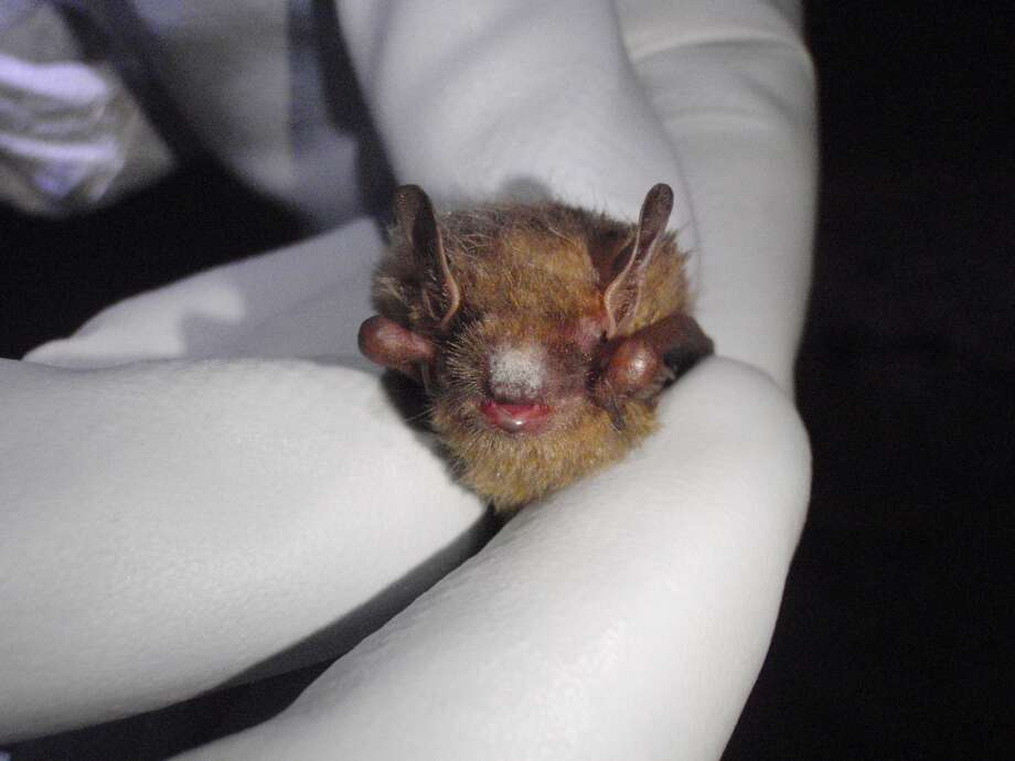 A tri-color bat found in the Avery County mine where white-nose syndrome was discovered, showing white fungal growth on its muzzle. Photo: Albert Herring/Wikipedia