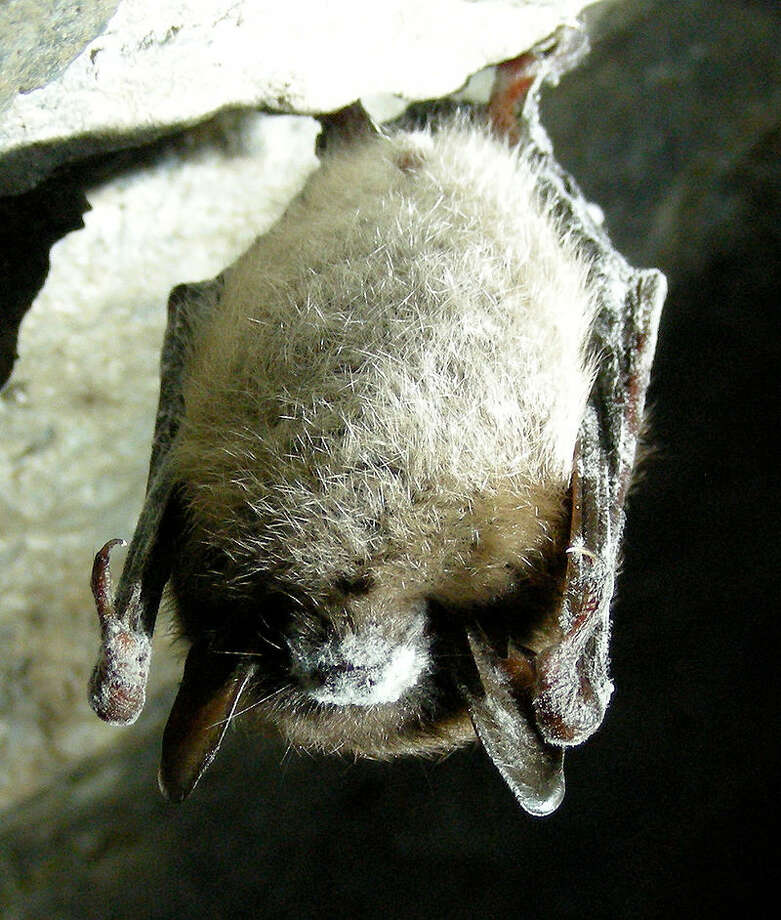 A little brown bat with white nose syndrome. The fungus covers parts of the face, ears, and wings. Photo: Marvin Moriarty/USFWS