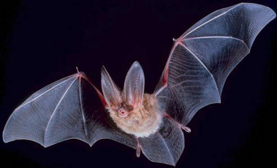 Townsend's big-eared bat is a medium-sized bat with extremely long,  flexible ears and small yet noticeable lumps on each  side of the snout. Photo: Fallschirmjäger/Wikimedia