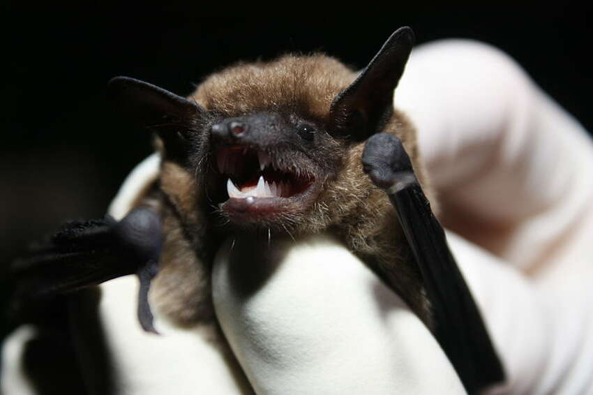 The eastern small-footed bat is a species of vesper bat. It is among the smallest bats in eastern North America and is known for its small feet and black face-mask. It can be found in Ontario, Quebec in Canada and in the Eastern United States.