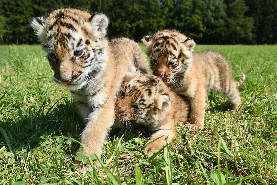 It's hard to huntwhen your sister is gnawing on your leg. (Five-week-old Bengal tiger cubs prowl the grounds at the Ochenhausen Zoo, Germany.) Photo: Felix Kastle, AFP/Getty Images