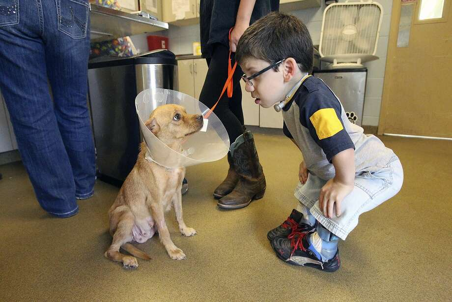 Ten dollars if you pull it off when they're not looking: David Reeves meets Mila and her satellite dish before she departs for a foster care family at Animal Care Services and San Antonio Pets Alive in San Antonio. Photo: Tom Reel