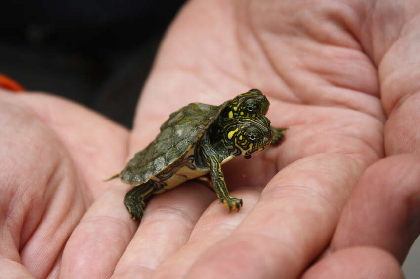 Thelma and Louise, a two-headed fresh water turtle, is part of the Texas River Cooter family.
