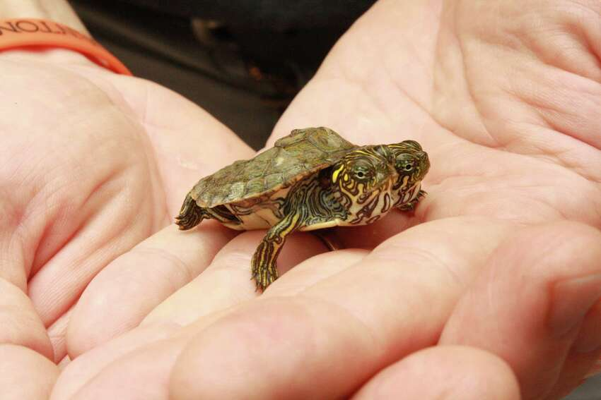 The turtle was born June 18, 2013 at the San Antonio Zoo.